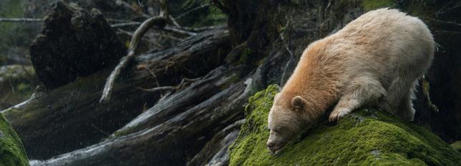 aventure-au-canada-ours-kermode