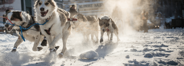 chien de traineau canada (new)