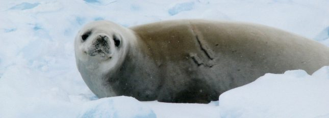 croisiere-en-antarctique-manchots-royaux-slider3