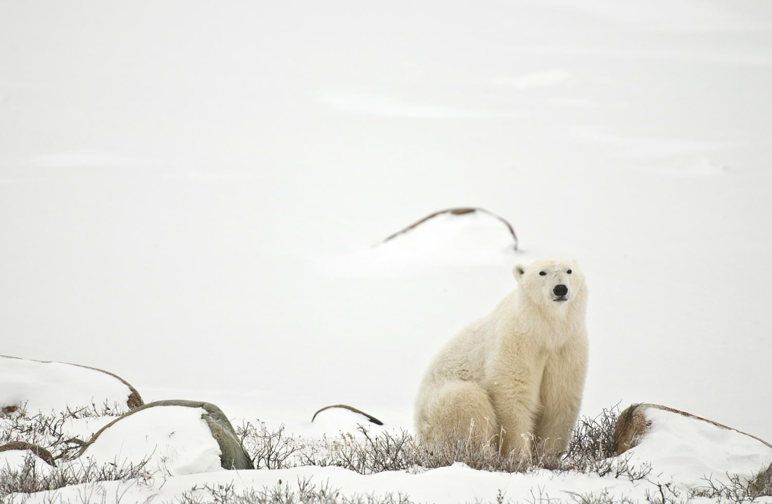Rencontre ours blanc