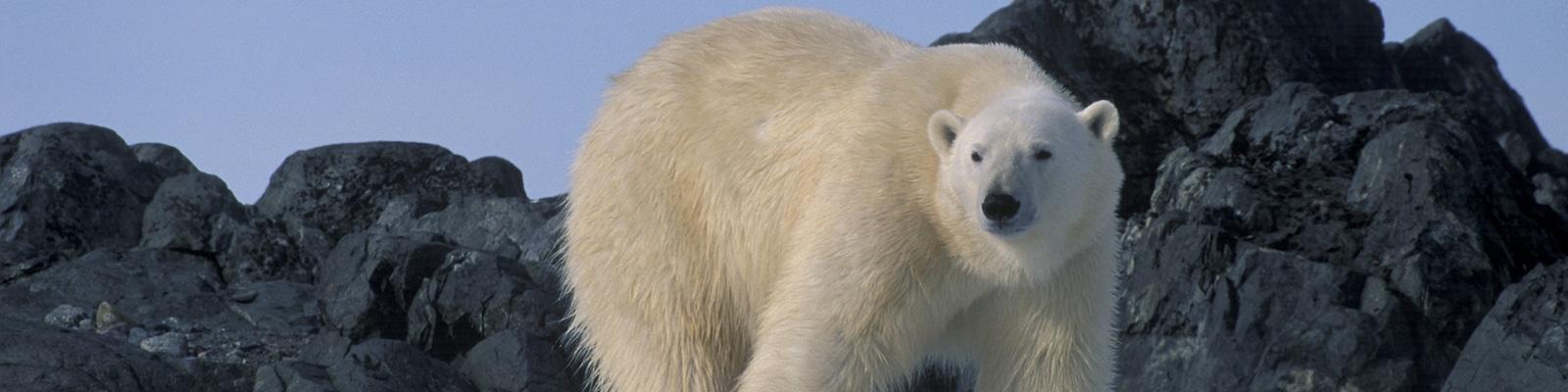 en cas de rencontre avec un ours